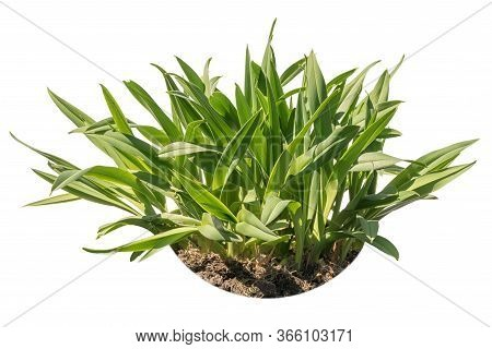 Leaves Of The Orange Daylily (hemerocallis Fulva) Isolated On A White Background With Earth, Possibl