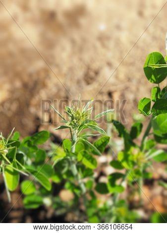 Distinctive folded leaf structure of the  Lespedeza bicolor (also known as shrubby bushclover, shrub lespedeza) plant head. Genus of plants in the pea or legume family