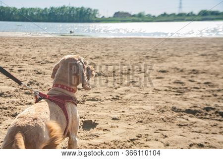 Light Brown Spaniel Dog With A Red Leash Collar Harness From The Back. Pet Dog Stands On A Sandy Bea