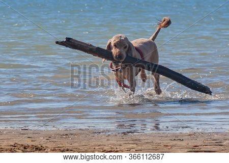 Overwhelming Task. Training Game With Dog Pet. English Cocker Spaniel Pet Brings Big Log As A Stick
