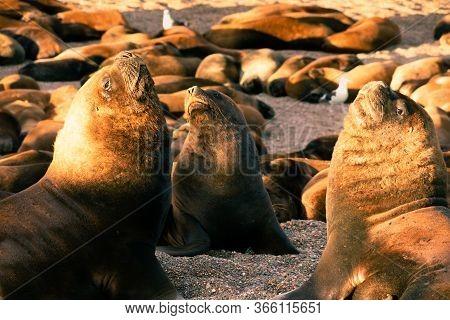 Sea Lion Family Sunbathing On The Beach In Argentina, Near Comodoro Rivadavia City