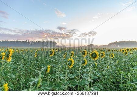 Sunflower Field Landscape Close-up. Altai, Russia. Selective Focus