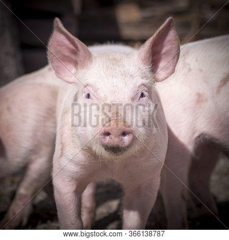 Front View Animal Portrait Of Cute Little Piglet On Pig Farm.