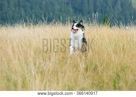 Australian Shepherd dog in autumn meadow. Happy adorable Aussie dog walking in grass field. Beautiful adult purebred Dog outdoors in nature.