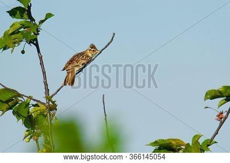 Wood Lark - Lullula Arborea Brown Crested Bird On The Meadow (pastureland), Lark Genus Lullula, Foun