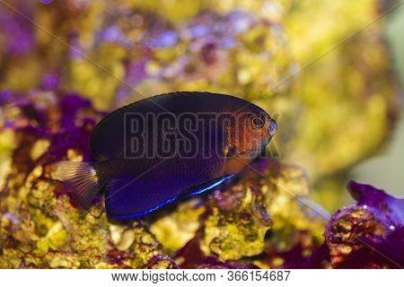 Pygmy Yellow Tail Angelfish - (centropyge Flavicauda)