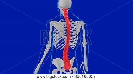 Human Skeleton Vertebral Column Anatomy 3d Illustration For Medical Concept