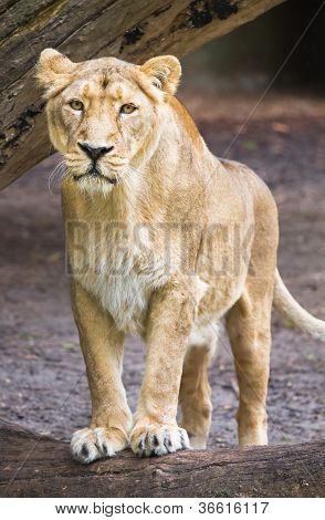 Female Asian Lioness - Panthera Leo Persica