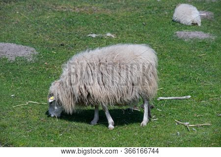 Lone Domestic Sheep On A Farm Field.