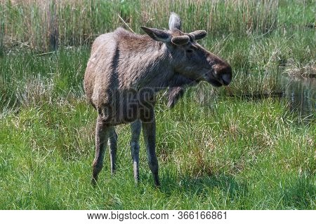 Moose Or Eurasian Elk On A Sunny Day In The Countryside.