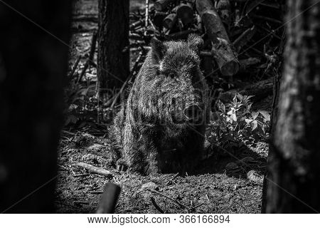 The Wild Boar (sus Scrofa) In The Forest. Black And White.