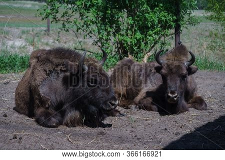 Two Bison (bison Bonasus) Are In The Field.