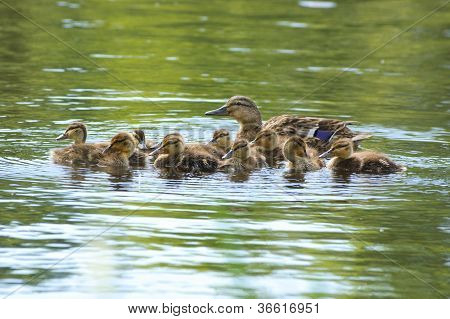 Swimming duck's family