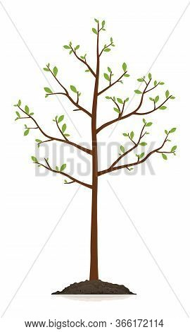 One Young Slender Tree With Green Leaves Growing In Ground Isolated Illustration, Planting Tree In S
