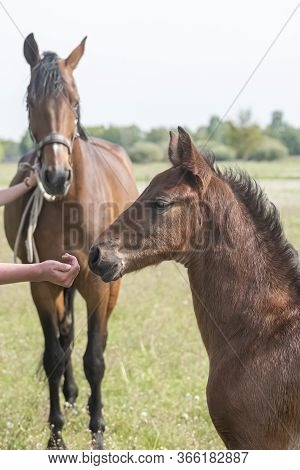 Close-up Of A Little Brown Foal,stallion Foal Is Standing Next To The Mother, During The Day With A