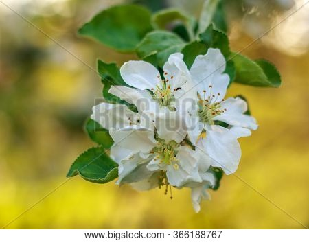 Blooming Flowers Of Apple Trees In A Spring Green Fruit Garden, Growing Healthy Organic Food