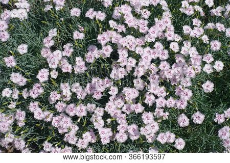 Big Quantity Of Light Pink Flowers Of Dianthus Deltoides In May