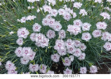 Blooming Dianthus Deltoides In The Garden In May