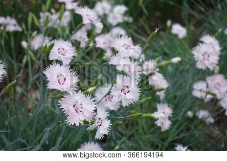 Close Shot Of Light Pink Flowers Of Dianthus Deltoides In May