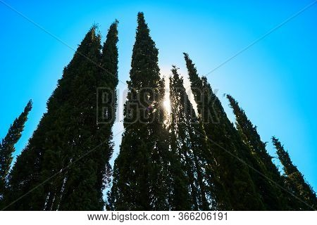 Cypress Trees Against The Blue Sky, The Sun Shines Through The Branches. Rays Of The Sun Through Cyp