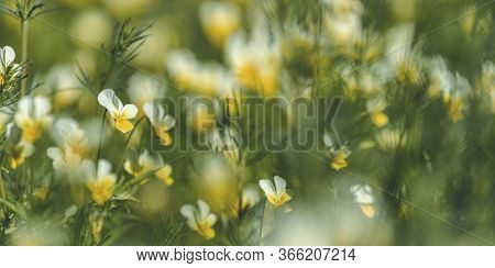 Panoramic View To Spring Background Art With Blooming Snowdrop Or Wild Pansy Or Heartsease (viola Tr