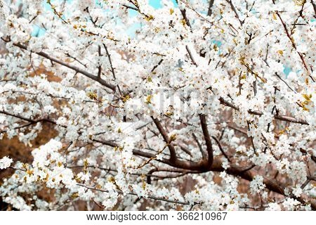 Blossoming Cherry Tree. The Branches Of The Tree Are Abundantly Covered With White Flowers