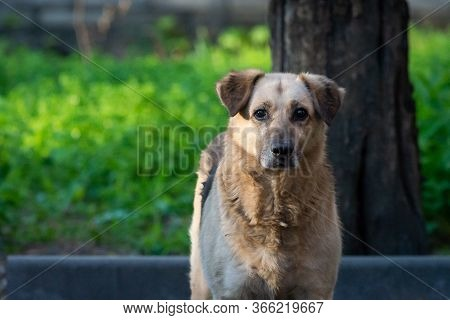 Portrait Of A Homeless Dog With Dark Ears Looks Carefully At The Camera.