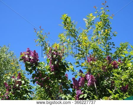 Lilac Flowers Spring Blooming Scene. Blossom Lilac Flowers In Spring. Spring Lilac Flowers Blooming.