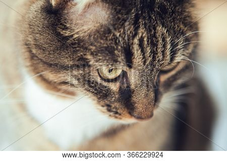 Portrait Of The Tabby Cat. Close Up. Head Of The Cat.
