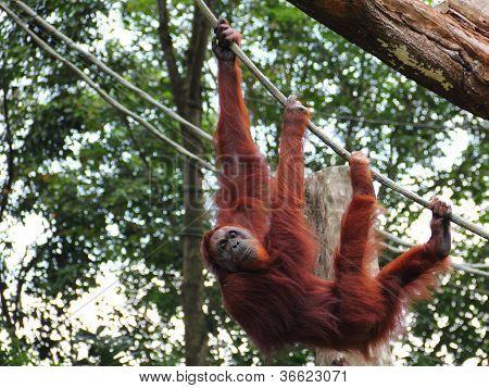 Orang Utan Hanging Out