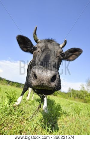 The Portrait Of Cow On The Background Of Green Field. Beautiful Funny Cow On A Farm. Young Black Cal