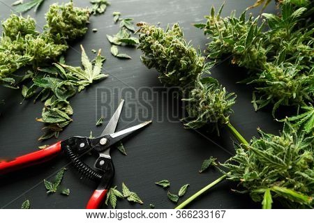 Mans Hands Trimming Marijuana Bud. Trim Before Drying. Growers Trim Cannabis Buds. Harvest Weed Time