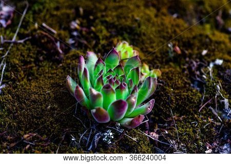 Close Up Green And Red Tips Echeveria Succulent Flowering Houseplants Background