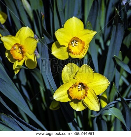 Yellow Narcissus, A Plant With The Latin Name Narcissus In The Garden, Macro