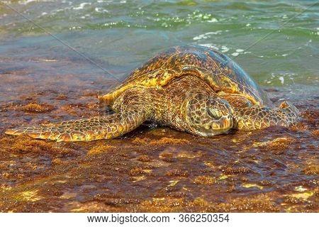 Hawaiian Sea Turtle Or Green Sea Turtle Rests On The Shore In Laniakea Beach Or Turtle Beach On Oahu