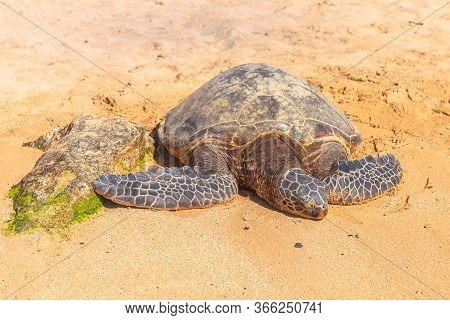Hawaiian Sea Turtle Or Green Sea Turtle Rests On The Golden Sand In Laniakea Turtle Beach On Oahu Is