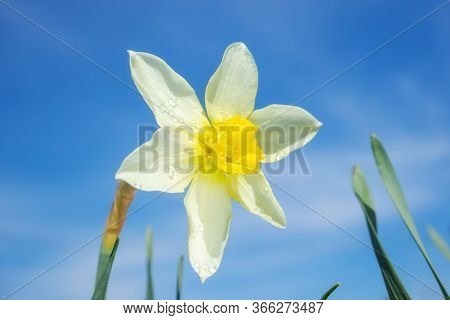 Yellow Flower Daylily On A Background Of Bright Blue Sky. The Concept Of Summer Flowering, Growing F