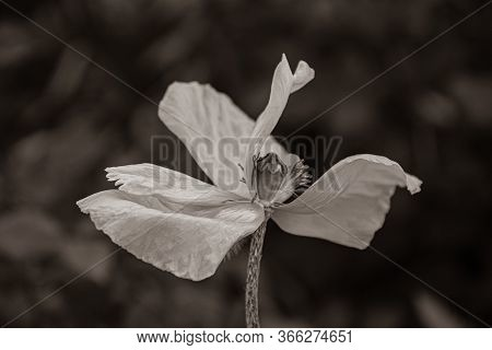 Sepia Toned Photo Of Fading Poppy Flower With Wrinkled Petals Closeup On Dark Blurred Background. Fr