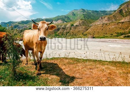 Brown Cow With Horns Near The River In Summer. Lonely Horned Animal In The Sun. Blue Sky High Mounta