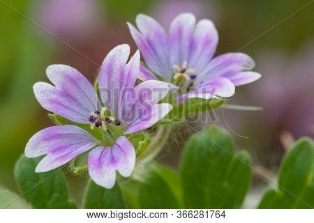 Macro Shot Of Doves Foot Geranium (geranium Molle) Flowers In Bloom