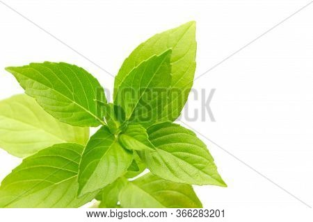 Basil Herb Leaves Bunch Isolated On White Background. Green Fresh Basil Leaf.