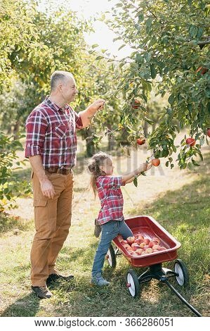 Grandfather With Granddaughter With Apple In The Apple Orchard. Beautiful Girl Eating Organic Apple