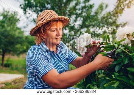 Senior Woman Gathering Flowers In Garden. Elderly Retired Woman Cutting Peonies With Pruner. Gardene