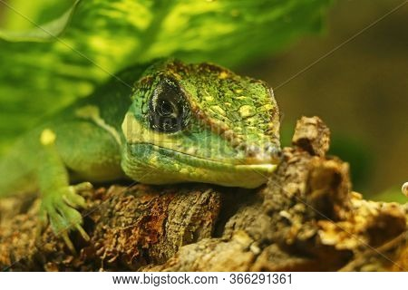 The Knight Anole Is The Largest Species Of Anole In The Dactyloidae Family. Other Common Names Inclu
