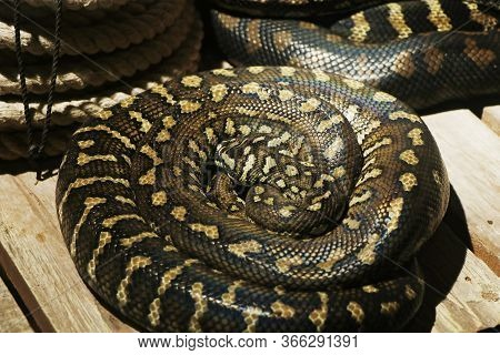 The Pythonidae, Commonly Known Simply As Pythons
