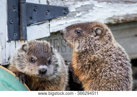 Young Groundhog Couple (marmota Monax) Near Shed In Springtime