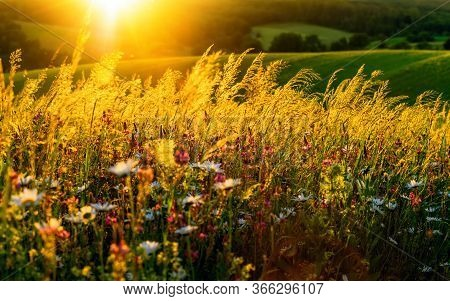 Gold Sunset On A Flower Meadow On Hills, With The Sun In The Background And Beautiful Backlit Lumino