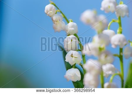 Flower Spring Lily Of The Valley Background Horizontal Close-up Macro Shot. Close-up Of Lily Of The