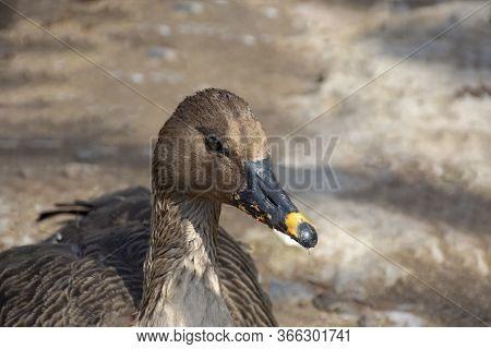 Bean Goose. Wild Grey Goose With A Grey Beak
