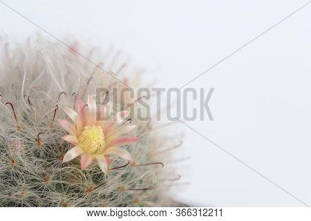 Mammillaria Boscana Or Fishhooks, Pink Flower Powder-puff Cactus, Pink Flowered Snowball Cactus, Pow